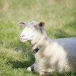 Sheep resting - Stock Photo
