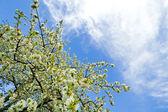 Yeni gelişen bir elma ağacının dalları — Stok fotoğraf