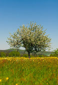 Arbre de la cerise sur la prairie en fleurs — Photo