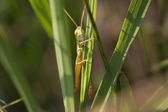 Green locust macro on blade of grass — Stock Photo