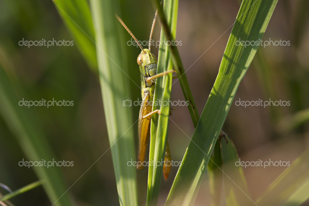 Green locust (Chorthippus parallelus) on a leaf. Macro photo — Stock Photo #12032486