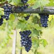 Vineyard grape cluster. Barbera — Stock Photo