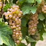 Vineyard grape cluster. Erbaluce — Stock Photo