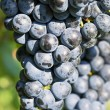 Vineyard grape cluster. Barbera - Stock Photo