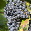 Vineyard grape cluster. Barbera — Stock Photo #12722525