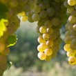 Vineyard grape cluster. Erbaluce — Stock Photo #12722839