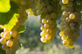 Vineyard grape cluster. Erbaluce — Стоковое фото
