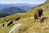 Cows in Alps, Italy — Stock Photo