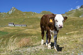 Young calf in Alps, Italy — Stock Photo