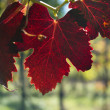Autumn grape leave in back light — Stock Photo
