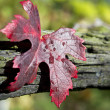 Autumn grape leave with raindrops — Stock Photo