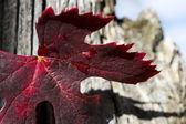 Autumn grape leave — Stock Photo