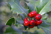 Holly branch with berries — Stock Photo