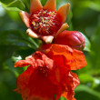 Pomegranate flower macro — Stock Photo