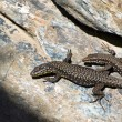 Fence lizard (Lacerta agilis) — Stock Photo