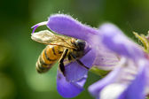 Bee on a sage flower — Stock Photo