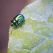 Jewel bug — Stock Photo