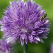 Stock Photo: Chives flower with bee