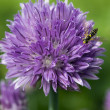 Royalty-Free Stock Photo: Chives flower with bee