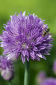 Chives flower with bee — Stock Photo
