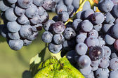 Grapes hanging from a vine Barbera — Stock Photo