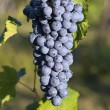 Stock Photo: Grapes hanging from vine Barbera