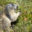 Marmot closeup — Stock Photo