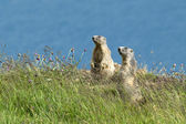 Marmots on alert — Stock Photo
