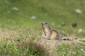 Marmot on alert — Stock Photo