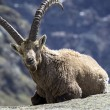 Stock Photo: Steinbock