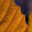 Autumn leaf macro — Stock Photo #37283565