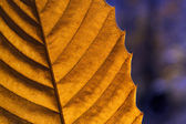 Autumn leaf macro — Stock Photo