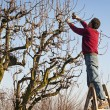 Stock Photo: Mpruning tree