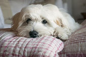 Puppy dog resting — Stock Photo