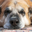 Stock Photo: Old lazy dog