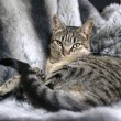 Stock Photo: Cat lying on fur blanket