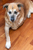 Eski tembel köpek — Stok fotoğraf