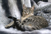 Cat lying on fur blanket — Foto Stock
