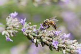 Bee on lavender flowers — Stock Photo