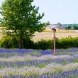 Purple and white lavender field landscape — Stock Photo