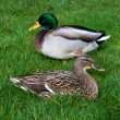 Couple european ducks sitting on the grass — Stock Photo