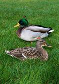 Couple european ducks sitting on the grass — Stockfoto