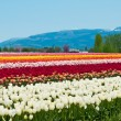 Tulip field with multicolored flowers, tulip festival in Washing — Stock Photo