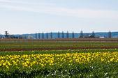 異なる色のチューリップ チューリップ畑 — ストック写真