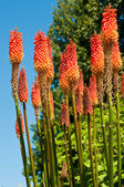 Colorful Red Hot Poker against a blue sky in Bellevue Botanical — Stock Photo