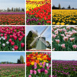 Stock Photo: Tulip field with multicolored flowers collage, tulip festival in