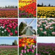 Foto Stock: Tulip field with multicolored flowers collage, tulip festival in