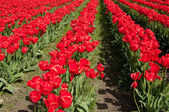 Rows of red tulips in Roozengaarde — Stock Photo