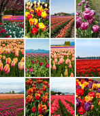 Tulip collage of twelve photos — Stock Photo
