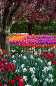 Flower tulip garden, tulip festival in Skagit — Stock Photo